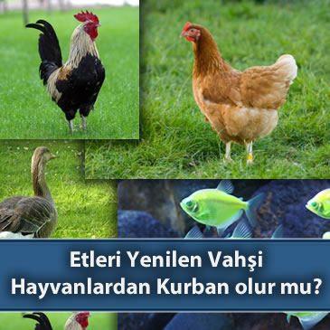 Tavuk, Horoz, Kaz gibi Hayvanlardan ve Etleri Yenilen Vahşi Hayvanlardan Kurban olur mu?